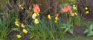 Daffodils and tulips in the Troon Old garden.