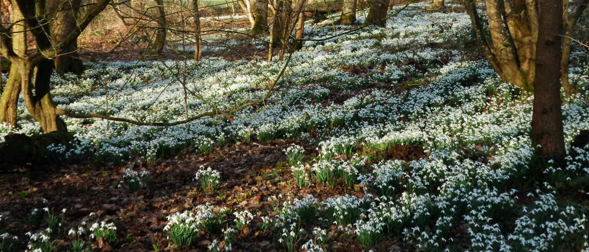 Snowdrops at Fullarton Woods, Troon, 21 February 2021