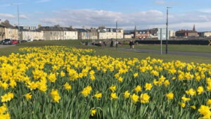 Daffodils on South Beach Esplanade at Titchfield Road, Troon, 19 March 2021
